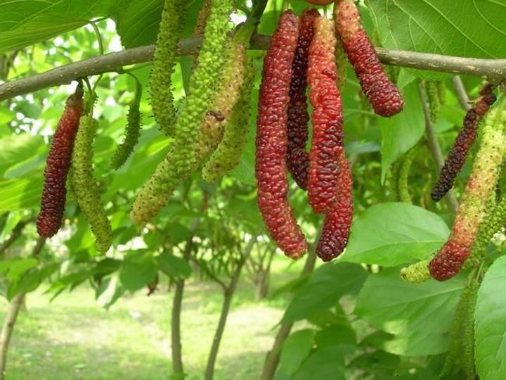 Cây giống Dâu Đài Loan