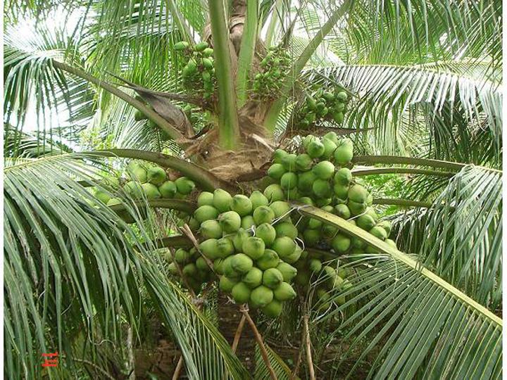 Cây giống dừa xiêm