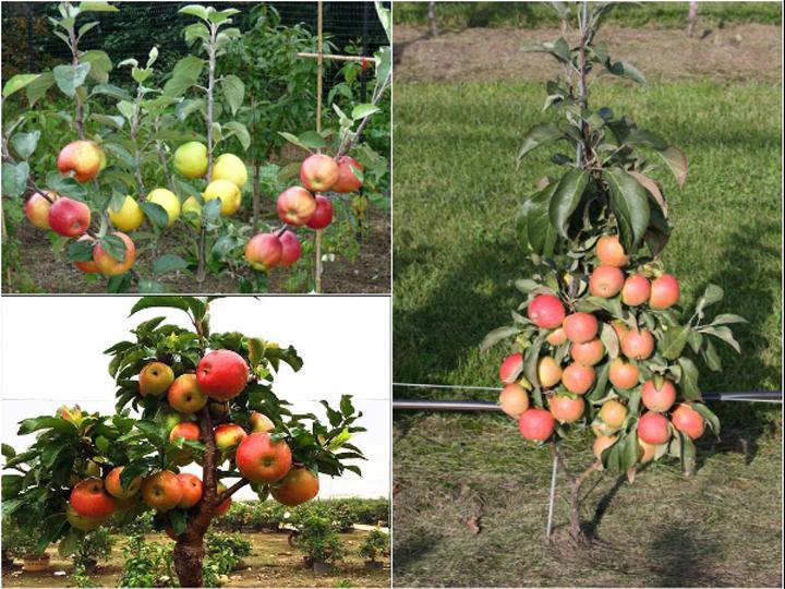 Giống táo đỏ lùn