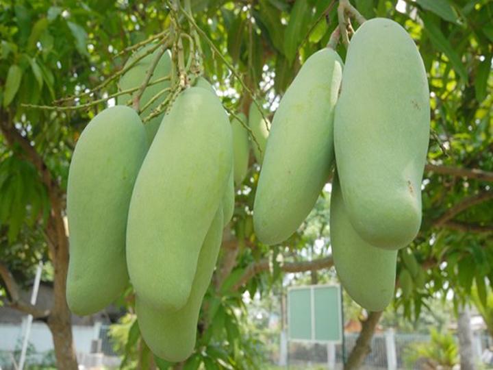 Cây giống Xoài Thái Lan