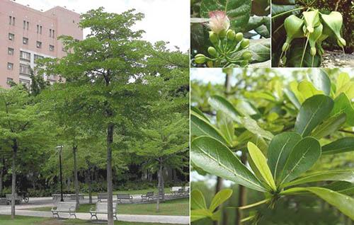 Giống cây bàng Đài Loan