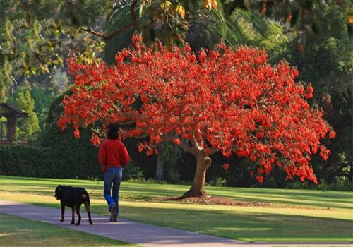 Cây giống osaka hoa đỏ