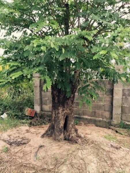 Giống cây cẩm lai