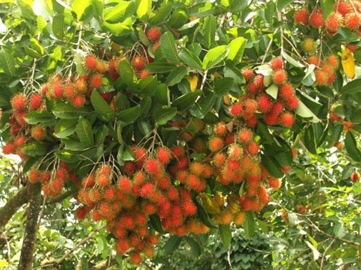 Cây Giống chôm chôm Thái