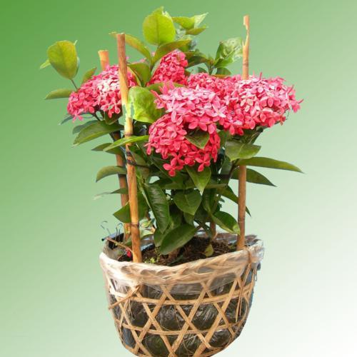 Cây hoa mẫu đơn giống