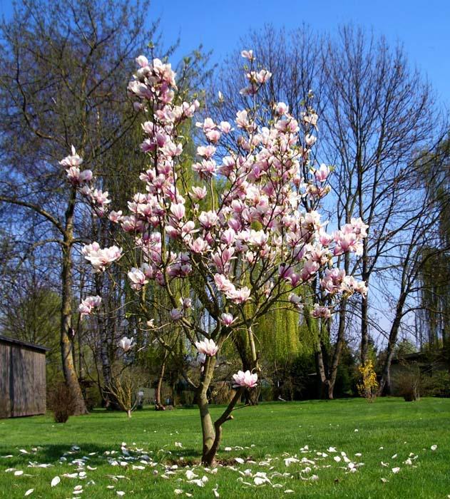 Giống cây hoa mộc lan