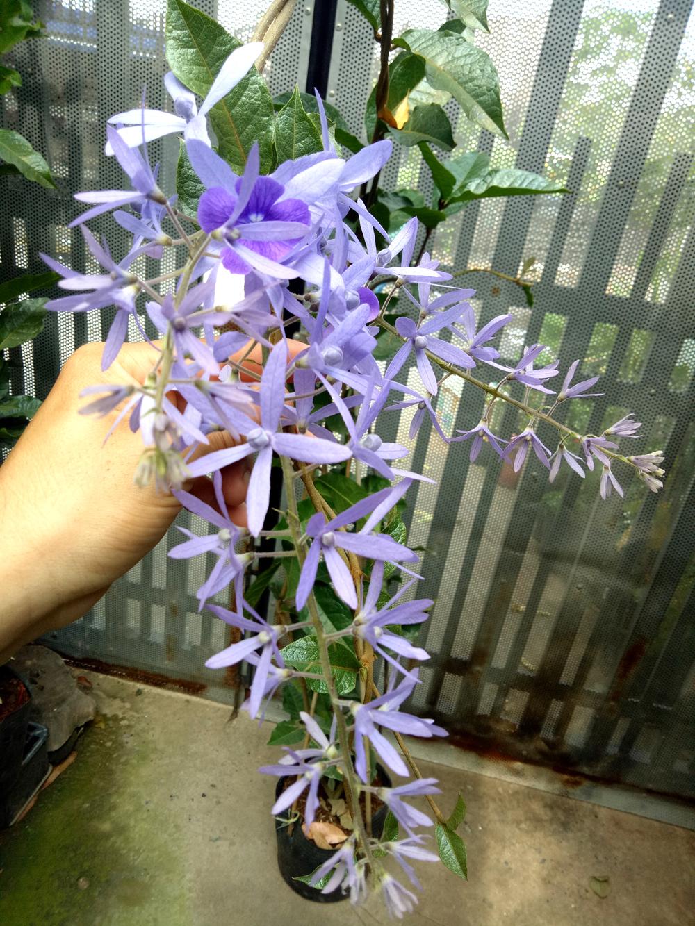 Giống hoa mai xanh thái